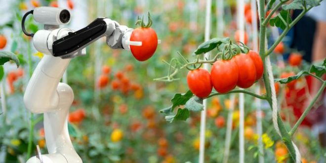 robotisation production tomates