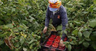 une saisonnière marocaine en train de cueillir des fruits rouges
