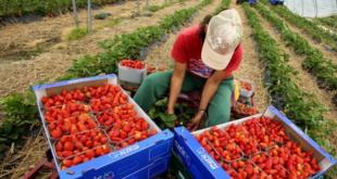 Saisonniers marocains : Avec un taux de chômage de 21.8%, le recours de l'Espagne à ces derniers fait débat