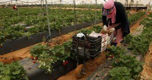Huelva 500 saisonnières marocaines attendues pour la récolte de fraises
