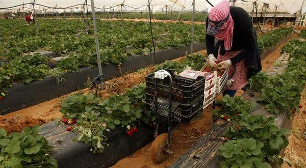 Fraises : L'Espagne craint l'absence des saisonniers marocains