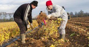 Le transfert des travailleurs agricoles marocains en Italie se poursuit