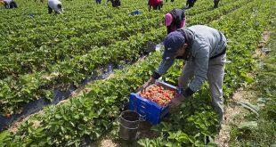 300 saisonniers marocains s'envoleront bientôt vers le sud-est de la France