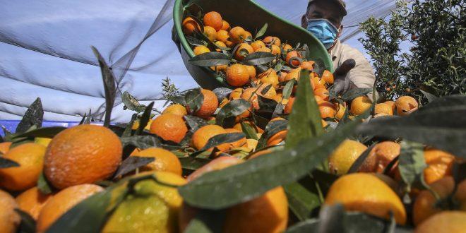 Corse : les saisonniers marocains sauvent la récolte de clémentines