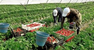 Fruits rouges: Le blocage des saisonniers au Maroc inquiète l'Espagne