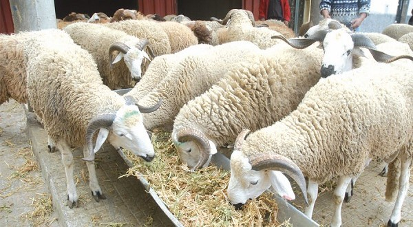 sardi ovin mouton