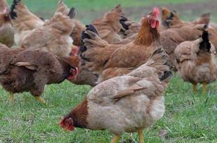 Secteur avicole : baisse des prix