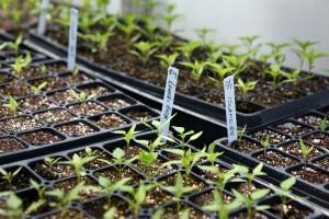 Semis de tomate effectués sur plateaux alvéolés