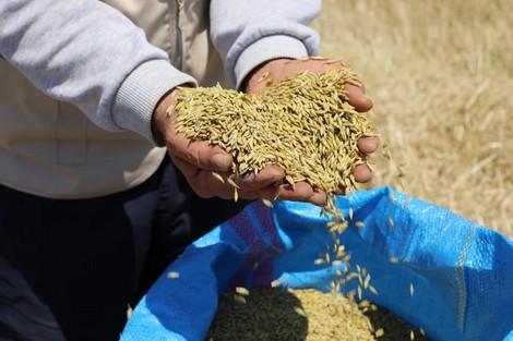 جهة درعة تافيلالت :توزيع 170 ألف قنطار من الشعير المدعم على مربي الماشية