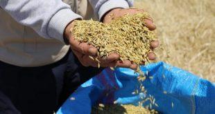 Sygenta et Agrin Maroc distribuent des semences performantes de blé