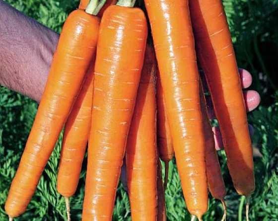 SUBITO F1 : la meilleure variété carotte pour une bonne précocité