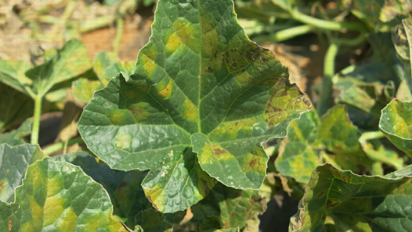 Diagnostiquer les symptômes des feuilles des cultures de légumes