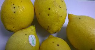 L-Argentine-arrête-les-exportations-de-citron-vers-l-UE-après-détection-d-une-maladie