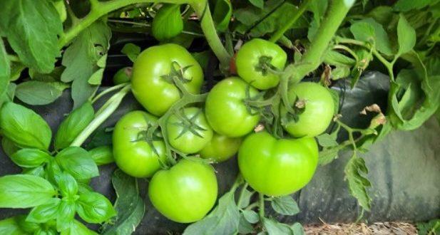 Hydroponique: les pierres volcaniques servent à produire des fruits et légumes