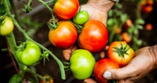 Les scientifiques découvrent comment modifier la couleur des tomates
