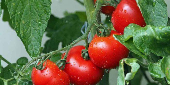 Le-Maroc-15ème-producteur-mondial-de-tomate-avec-plus-d-1,4-MT