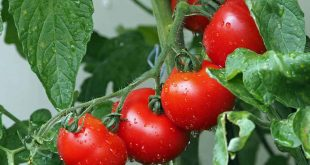 Selon une étude récente, les tomates cultivées à l'ombre ont plus d'antioxydants