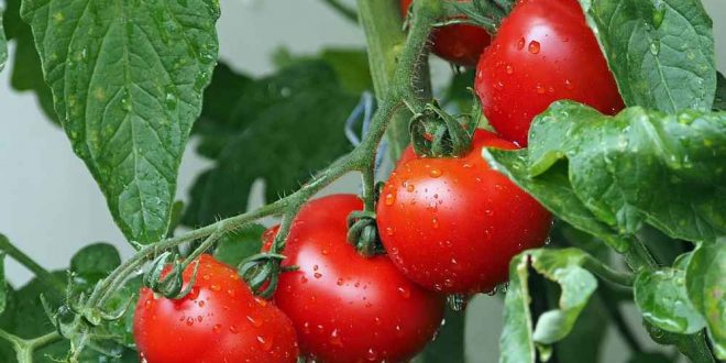 Insolite. La tomate possède 13.000 gènes de plus être humain