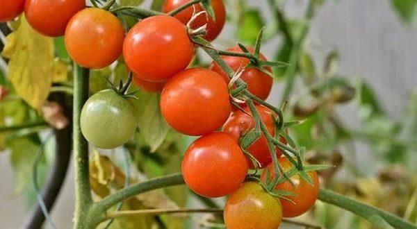 Tomates un champignon pourrait réduire utilisation engrais