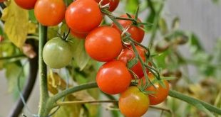 Effets du stress salin sur la capacité antioxydante des tomates