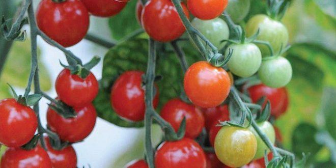 tomates technologie capteur rendement