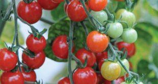 Les-agriculteurs-marocains-facturent-leurs-tomates-59-%-moins-chèr-que-ceux-d-Espagne