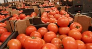 Les tomates marocaines bientôt interdites en Russie ?