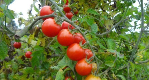 Peut-on cultiver des tomates en plein champ de manière durable ?