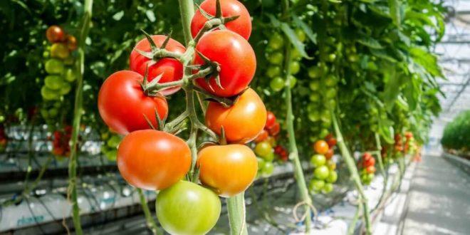 Maroc des jeunes font pousser les tomates cerises dans le désert