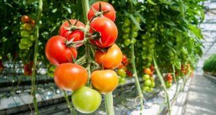 Effet des couvertures de tunnels élevées sur les antioxydants des tomates