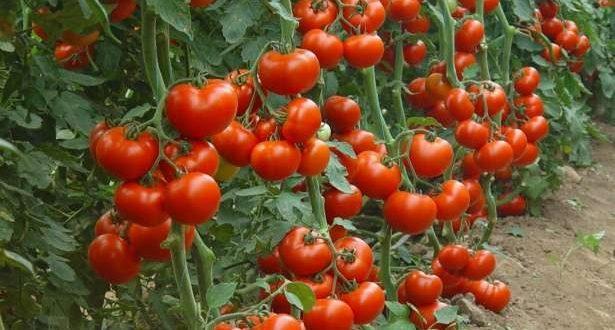 La technologie nucléaire aide à développer des variétés de tomates résistantes à la chaleur