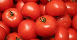 Tomate au maroc