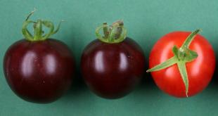 Bientôt des tomates violettes ?