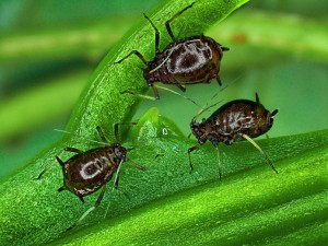 Puceron brun Toxoptera Citricida