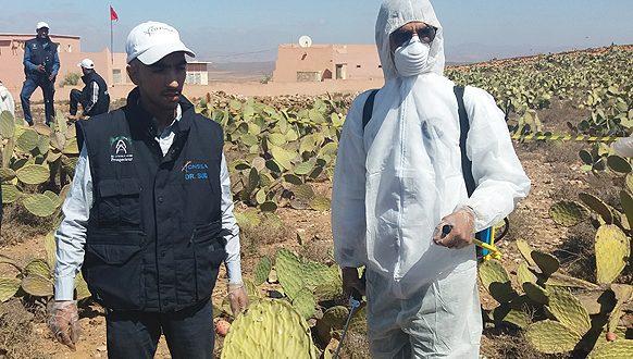 Souss-Massa: L'ONSSA alloue 1,6 MDH à la lutte contre la cochenille du cactus