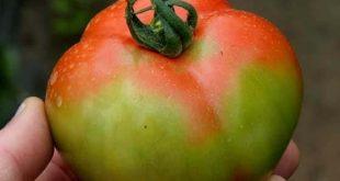 Le virus rugueux de la tomate fait une frayeur chez les agriculteurs