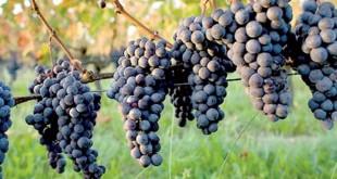 Viticulture: La campagne se déroule bien à Casablanca-Settat
