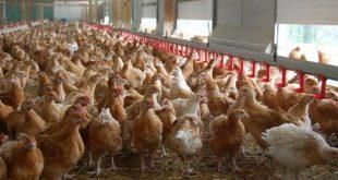 Grippe aviaire : la volaille française interdite en Chine