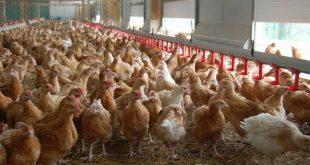 La crise liée à la surproduction en viande de volailles au Maroc inquiète