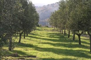 Xylella fastidiosa, une menace pour l'arboriculture